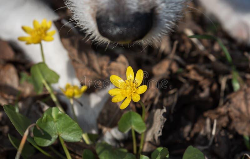 与巨鼻嗅第一春天毛茛的春天概念开花 免版税库存照片