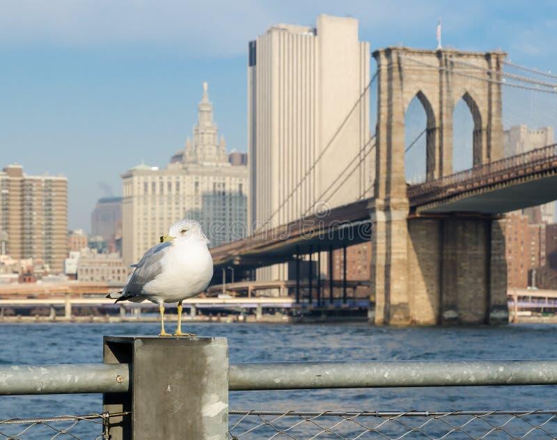 与布鲁克林大桥和更低的曼哈顿背景的海鸥。 免版税库存照片