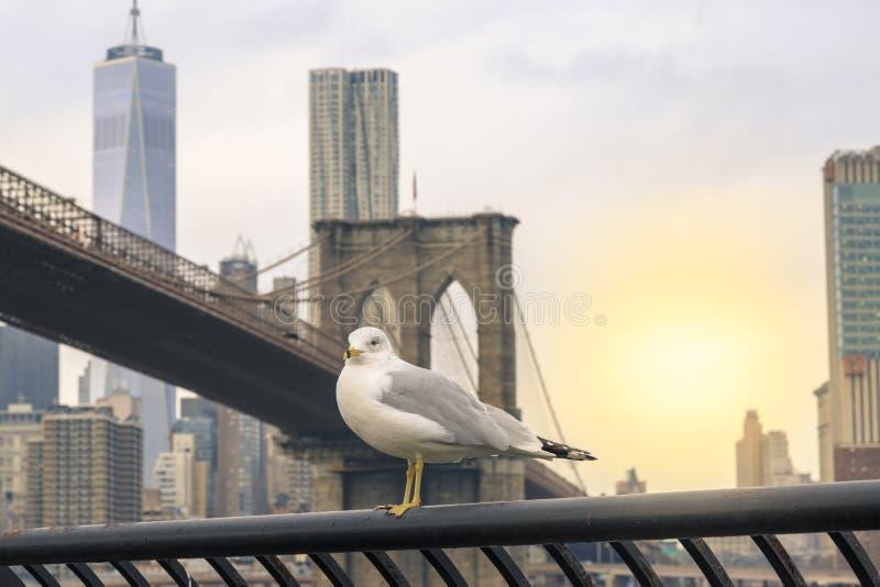 与布鲁克林大桥的海鸥和曼哈顿下城背景在纽约,NY 免版税库存图片