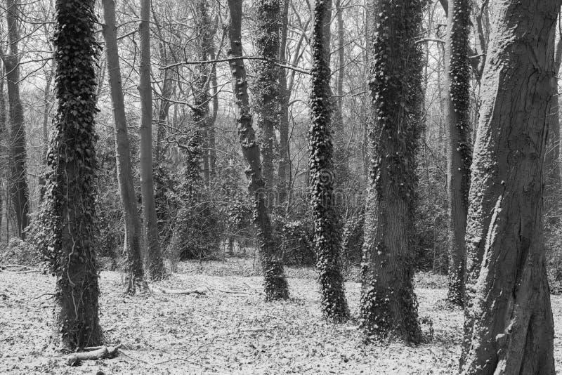 与常春藤的黑白树 免版税库存图片