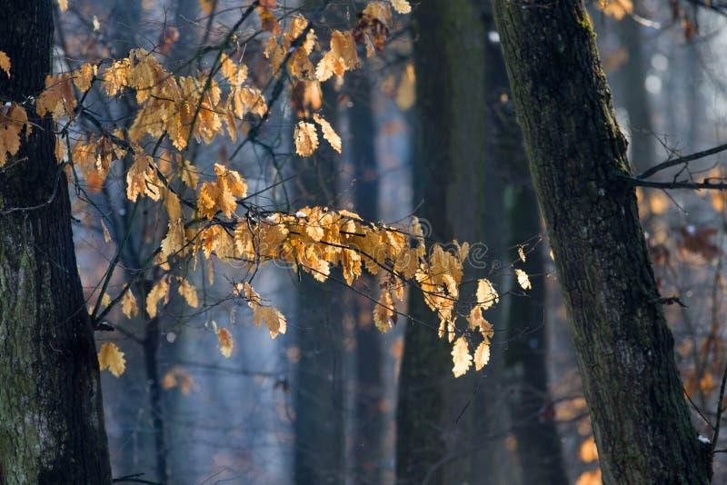 与干燥叶子的橡木分支在冬天 图库摄影