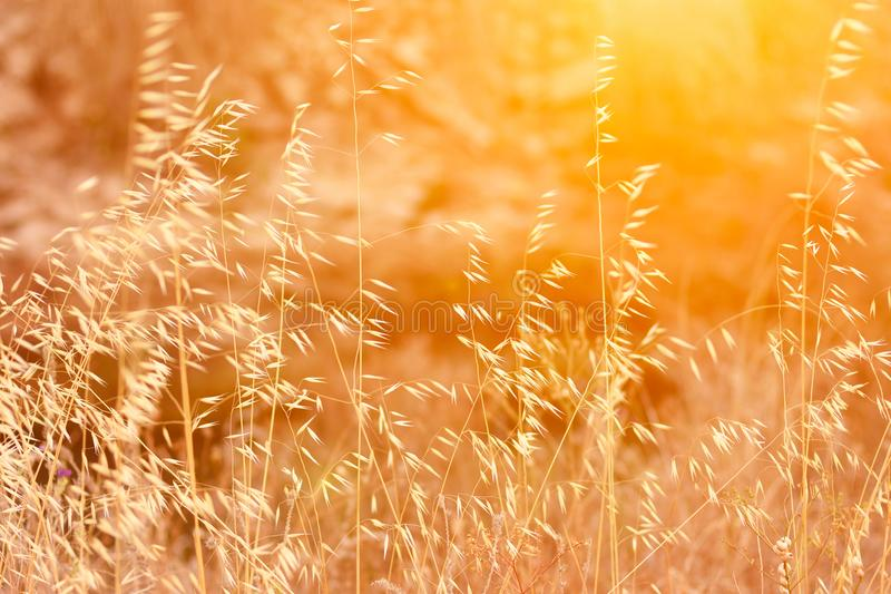 与干燥嫩植物燕麦金黄太阳火光温暖的光的美好的草甸领域 免版税库存图片