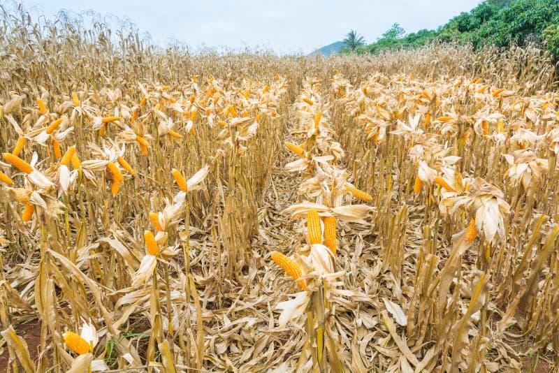 与干燥植物的未加工的新鲜的黄色玉米棒子领域的 免版税库存图片
