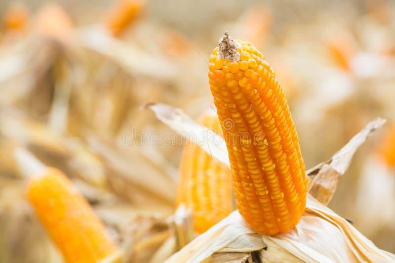 与干燥植物的未加工的新鲜的黄色玉米棒子领域的 库存照片