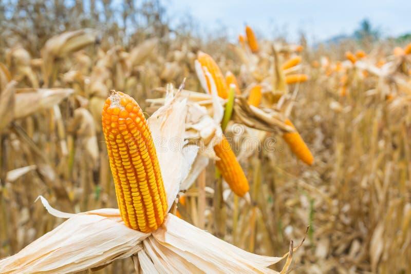 与干燥植物的未加工的新鲜的黄色玉米棒子领域的 免版税库存照片