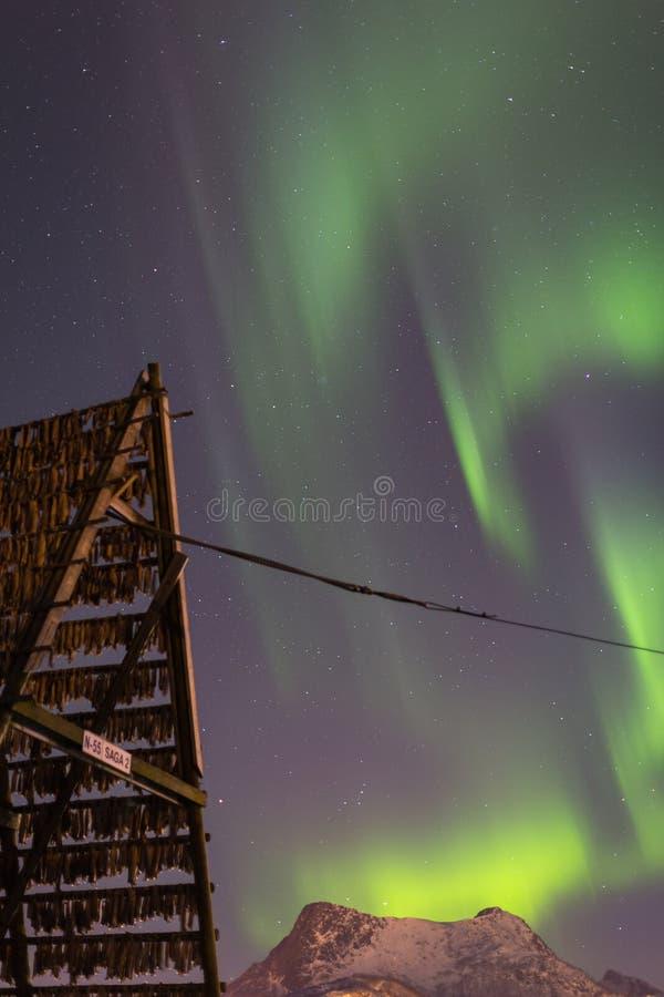与干鱼干燥机架的极光borealis北极光 库存照片