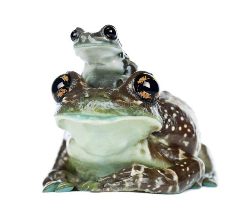 与年轻人, Trachycephalus resinifictrix的母亚马逊牛奶青蛙 库存照片