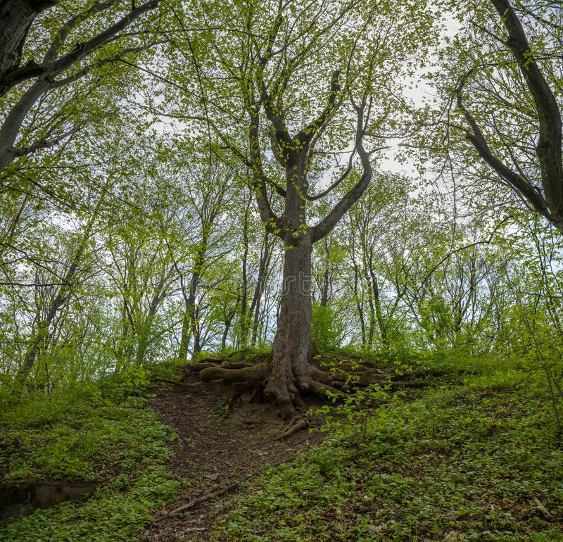 与年轻叶子的树 免版税库存图片
