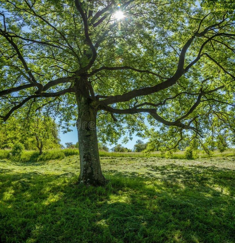 与年轻叶子的树 免版税库存照片