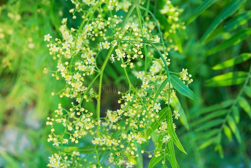 与年轻新鲜的绿色叶子和美丽的嫩小白花的摇晃的树枝 充满活力的淡色金黄阳光 库存图片