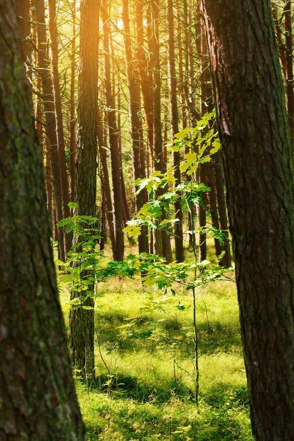 与年轻橡树的夏天松林 苏格兰语或苏格兰松树松属sylvestris树在常青具球果森林里 免版税库存图片