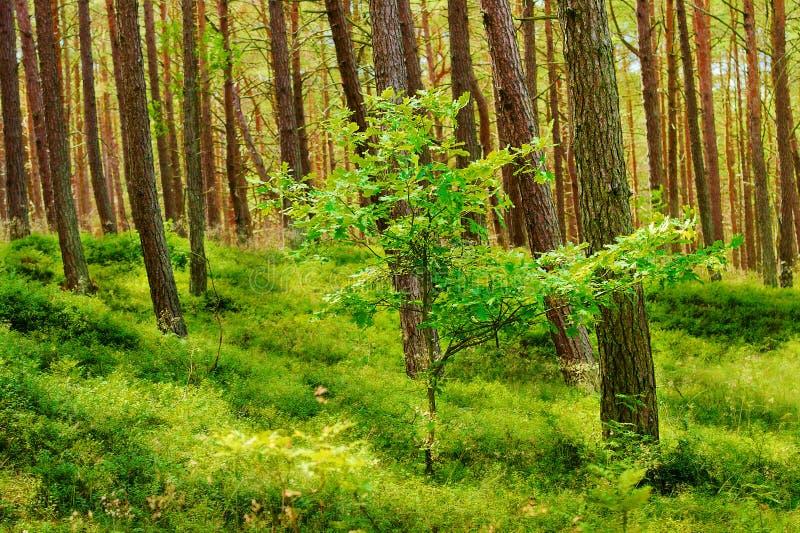 与年轻橡树的夏天松林 苏格兰语或苏格兰松树松属sylvestris树在常青具球果森林里 免版税库存照片