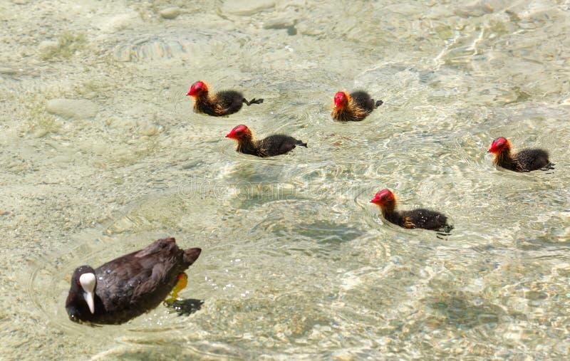 与年轻的骨顶属atra共同的老傻瓜在博登湖,小岛Mainau 库存照片