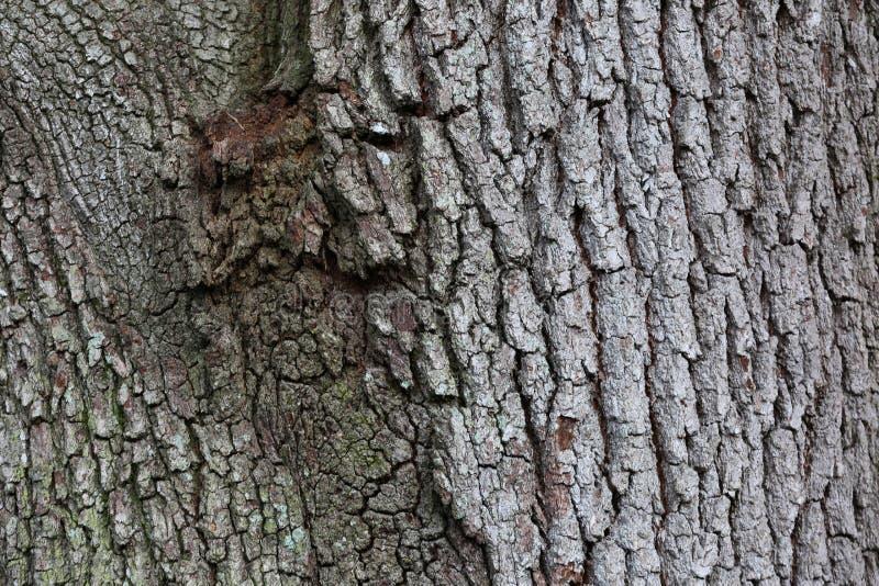 与年龄纹理的橡树吠声 图库摄影
