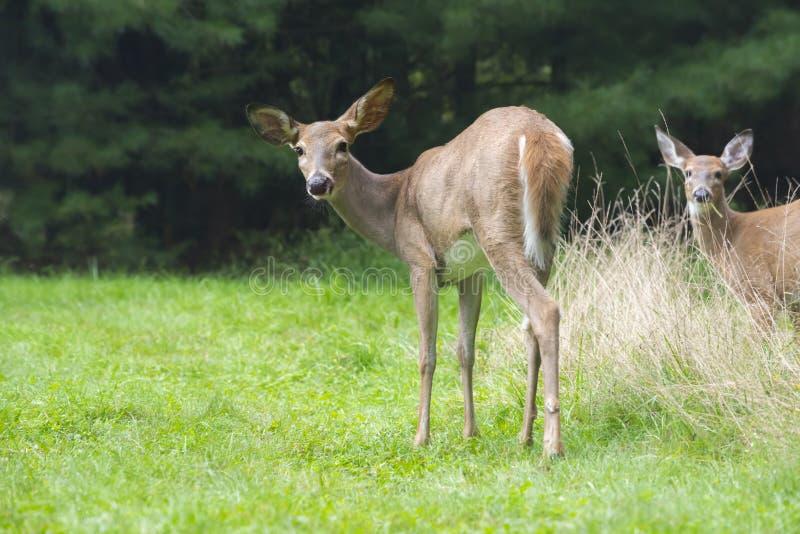 与幼小小鹿的母鹿 库存照片