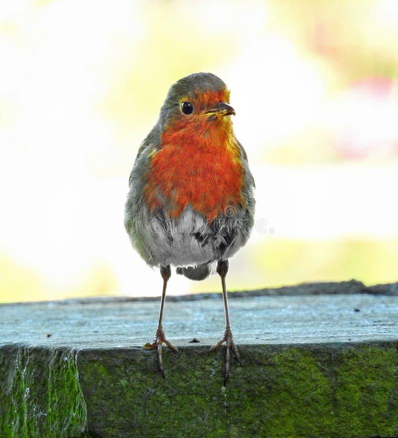 与幼虫的妈咪知更鸟红色乳房鸟在婴孩的额嘴 免版税图库摄影