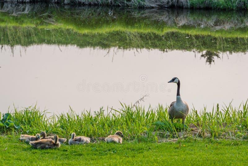 与幼鹅传动器的加拿大鹅在一条小河旁边的在快速潮流的,SK Elmwood高尔夫球场 库存图片