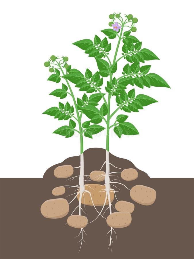 与开始的叶子和的肿胀的土豆植物胀大在白色背景隔绝的地面传染媒介例证 皇族释放例证