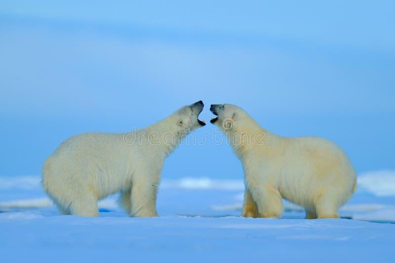 与开放口鼻部的北极熊冲突在斯瓦尔巴特群岛 库存图片