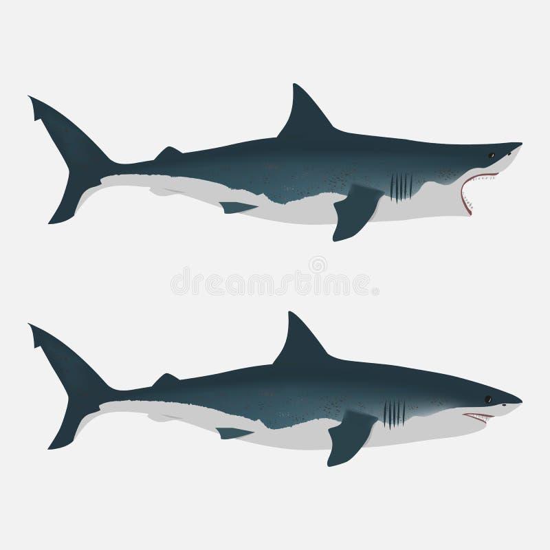 与开放和接近的嘴的鲨鱼 大白色鱼 舱内甲板在白色背景的被隔绝的例证 向量例证