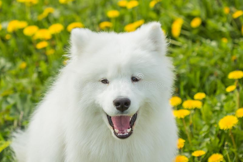 与开放嘴的滑稽的萨莫耶特人狗 库存图片