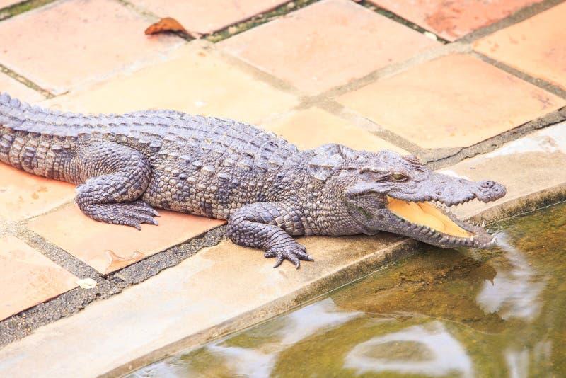 与开放嘴的特写镜头鳄鱼在地面说谎由水 库存照片