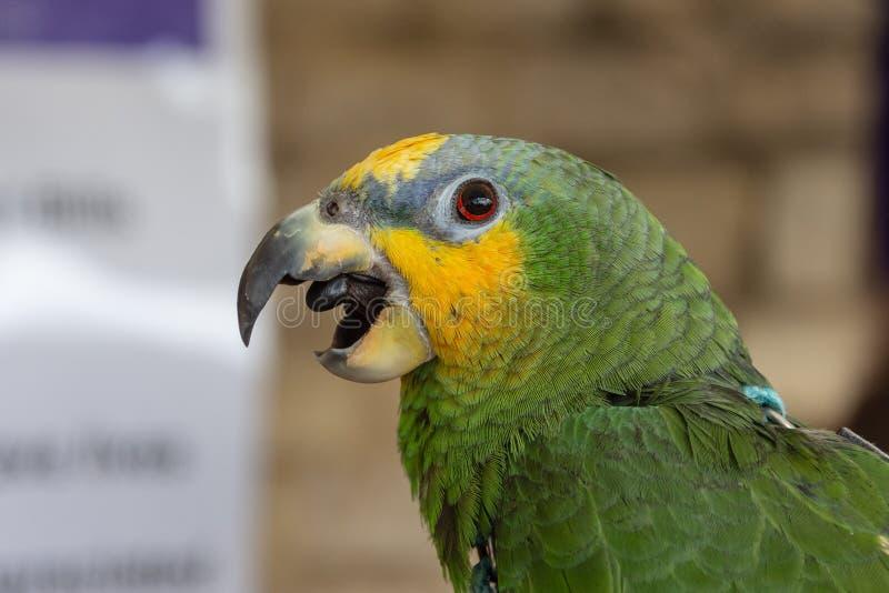 与开放它的额嘴的黄色被加冠的亚马逊鹦鹉 免版税库存照片