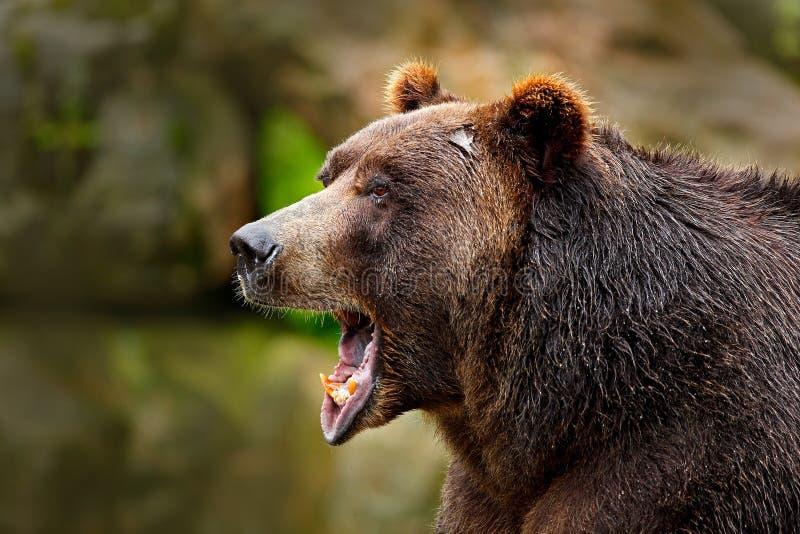 与开放枪口的熊 棕熊纵向 细节危险动物面孔画象  美丽的大棕熊自然栖所 丹 免版税库存图片