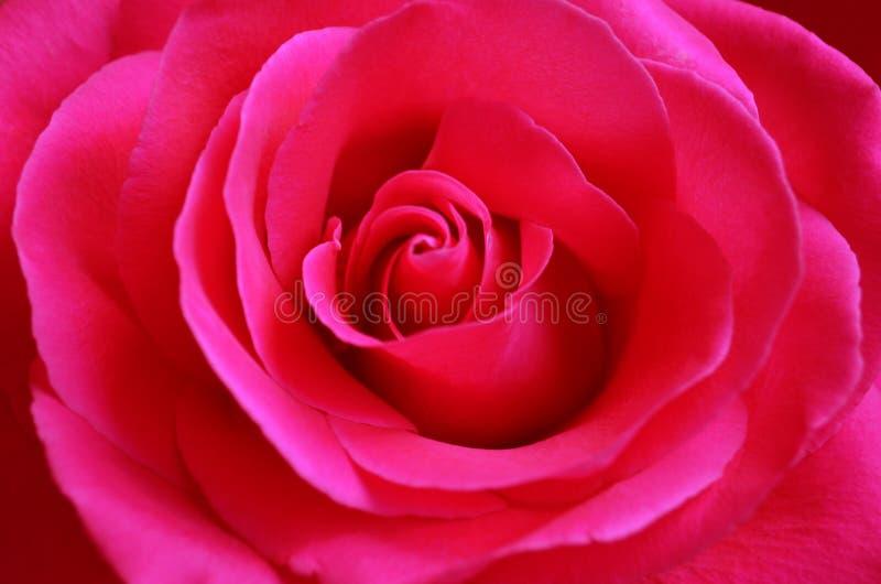 与开放瓣特写镜头的新鲜的桃红色玫瑰 免版税库存照片