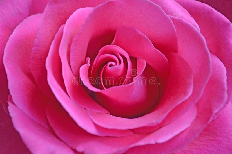 与开放瓣特写镜头的新鲜的桃红色玫瑰 库存图片