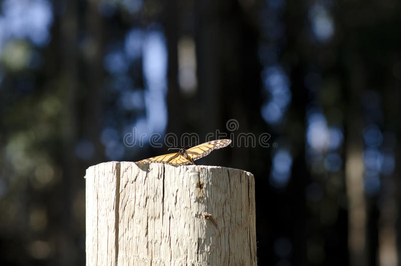 与开放翼的传播的黑脉金斑蝶 免版税库存照片