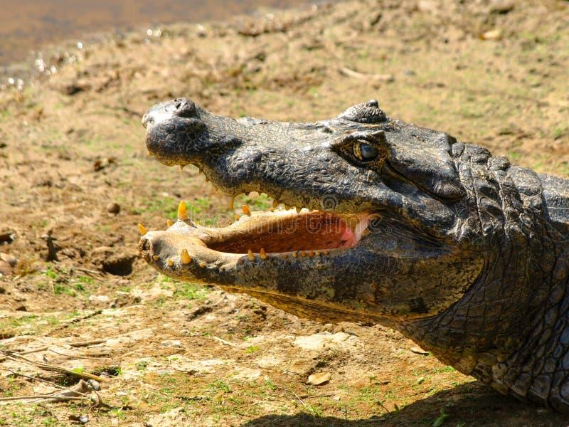 与开放嘴的鳄鱼 免版税库存图片