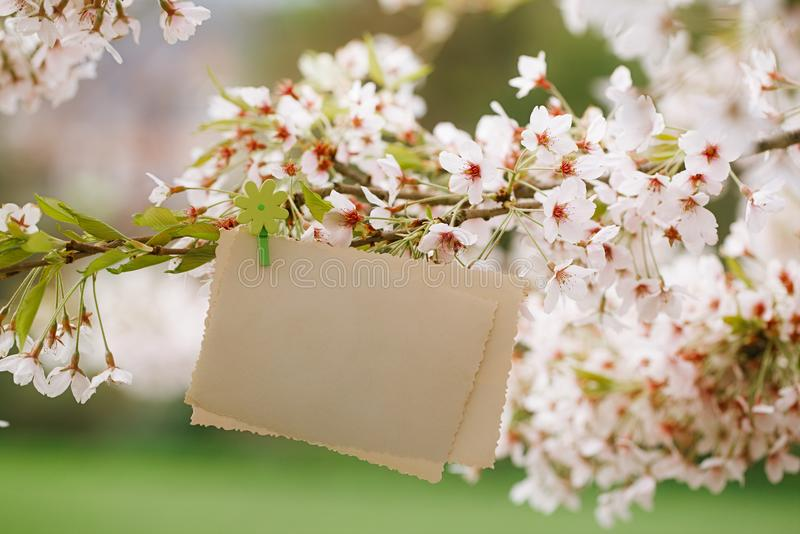 与开花樱桃花佐仓的葡萄酒照片后部 图库摄影