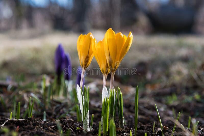 与开花番红花的早期的春天 库存图片