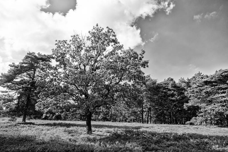 与开花的共同的石南花的欧石南丛生的荒野 库存图片