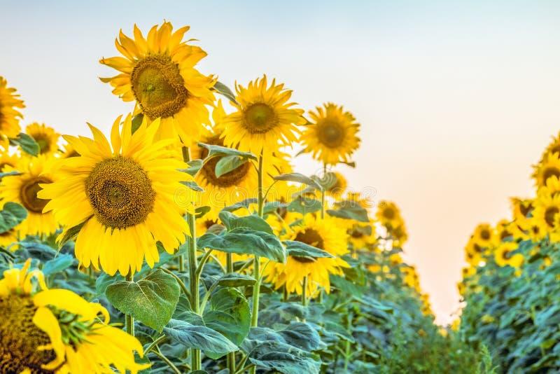 与开花的向日葵行的农业背景  库存图片