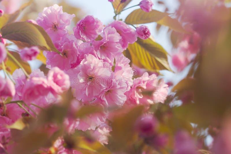 与开花的日本樱花佐仓开花桃红色的春天背景发芽与软的阳光软的焦点 免版税库存照片