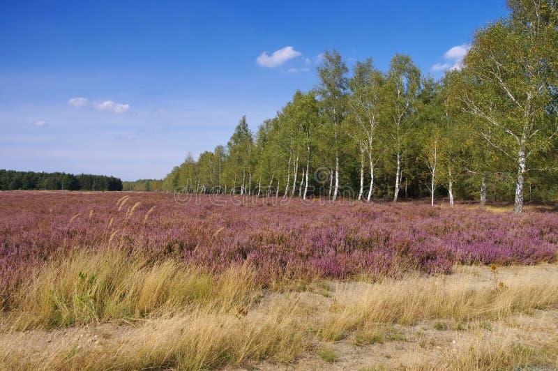 与开花的石南花的荒地风景 库存照片