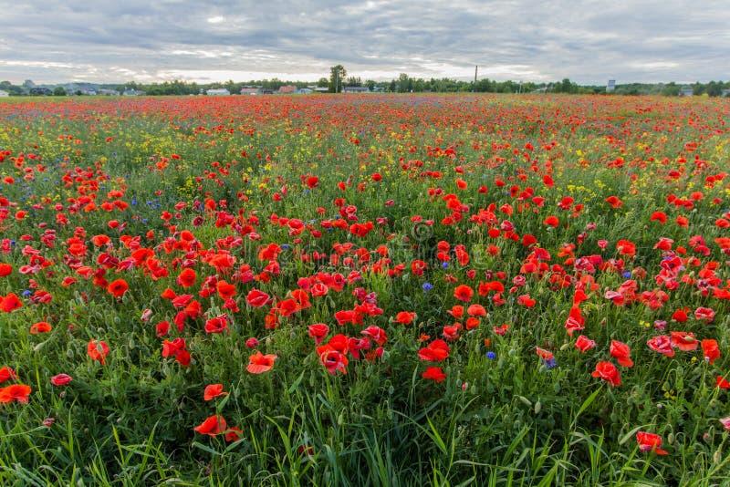 与开花的红色花的鸦片领域 免版税库存照片