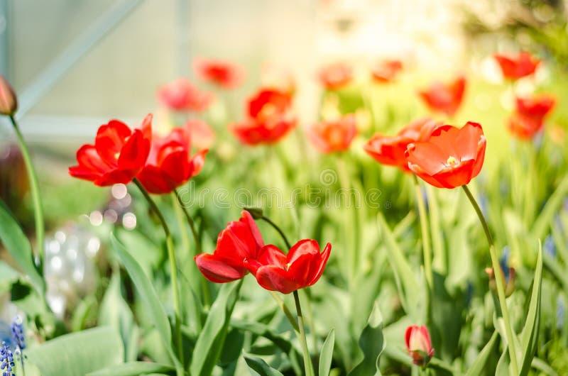与开花的红色郁金香的美好的自然场面在太阳火光春天花 美丽的草甸 领域花郁金香 库存照片