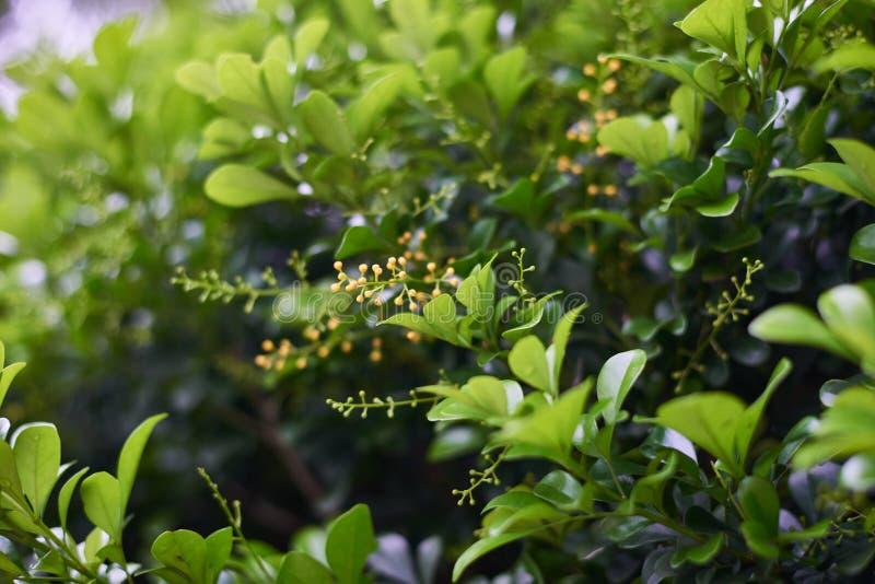 与开花的绿色中国灌木一点黄色开花 库存图片