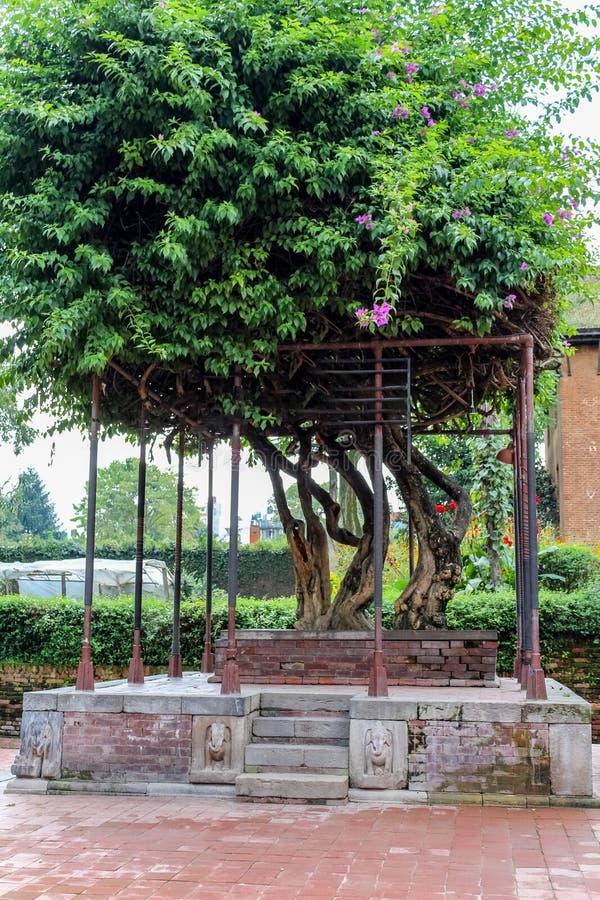 与开花的美丽的老九重葛树在尼泊尔开花 免版税库存图片