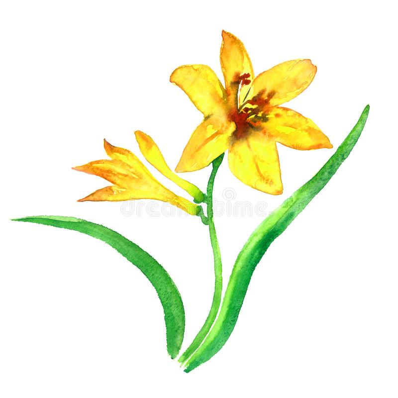 与开花的花和芽,在白色背景隔绝的绿色叶子的黄色百合词根,手画水彩例证 库存例证