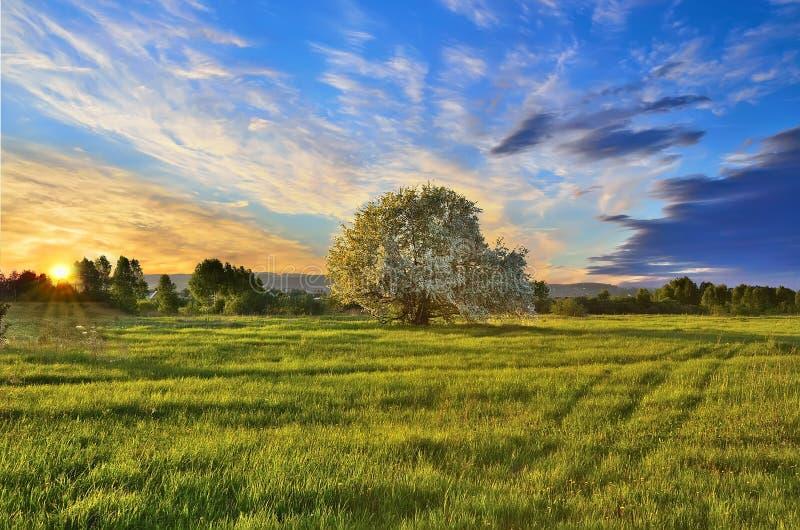 与开花的苹果树的春天风景在日落 免版税图库摄影