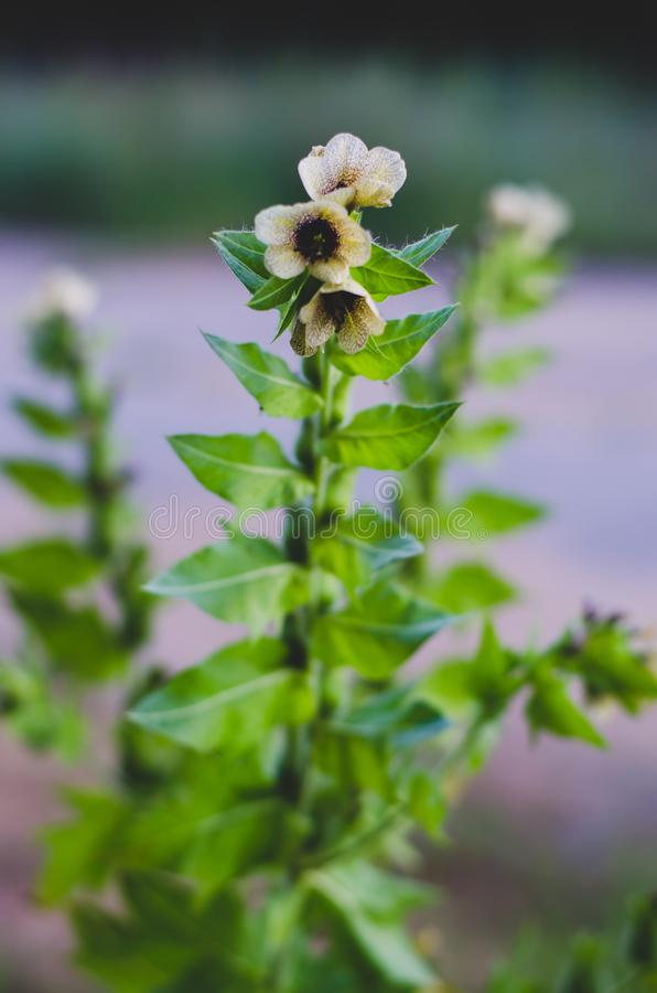 与开花的草甸轻轻地奶油色花的茎 焦点中心 焦点在中心 免版税库存图片