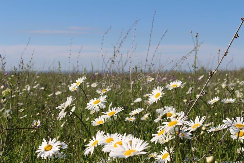与开花的雏菊的领域 图库摄影