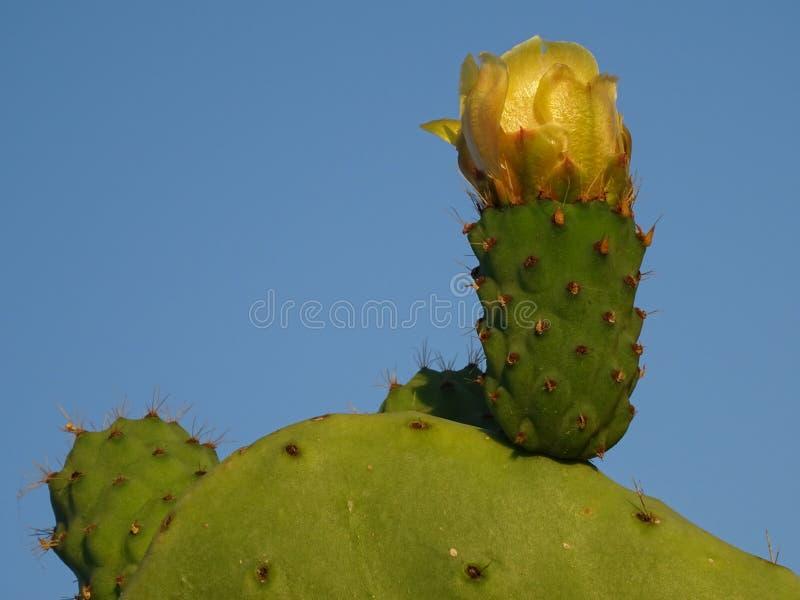 与开花的黄色花的仙人掌 库存照片