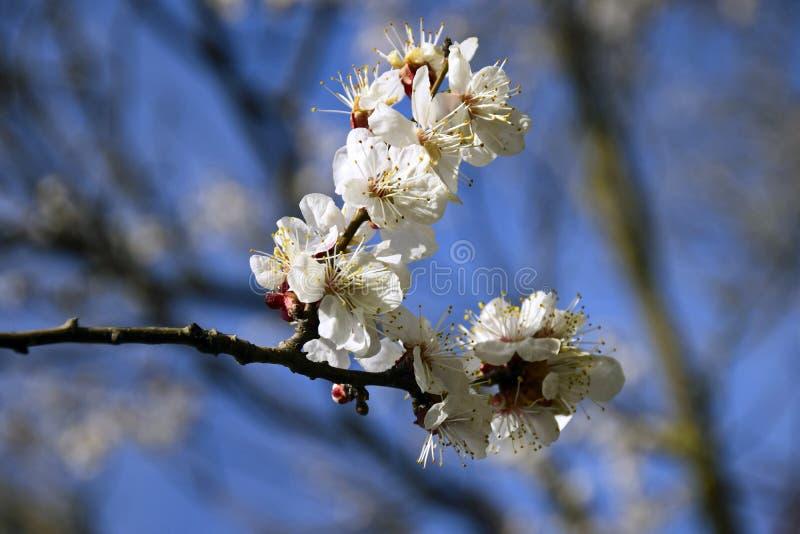 与开花精美杏子花的抽象自然本底 库存图片