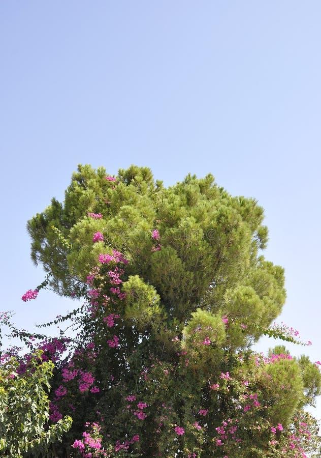 与开花花的九重葛灌木在公园 图库摄影