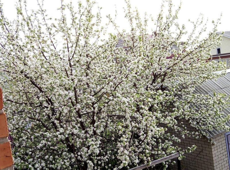 与开花苹果树的风景 免版税库存照片